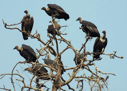 Roosting-vultures-2