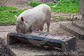 What is the name of the long wooden thing where pigs eat? - Quora