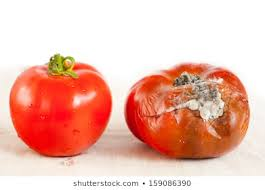 Rotten Tomato Images, Stock Photos & Vectors | Shutterstock