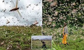 Shocking pictures reveal incredible scale of Kenyan locust plague | Daily  Mail Online
